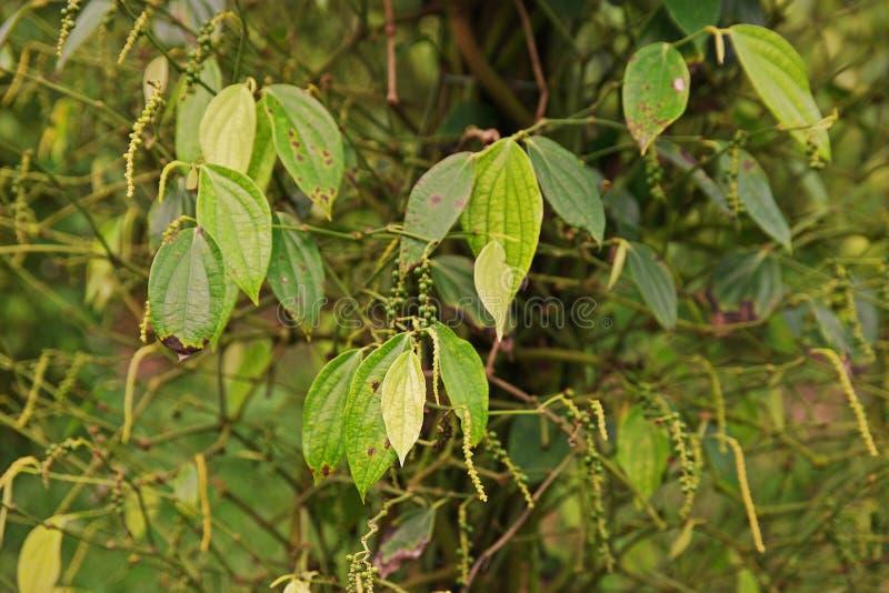 胡椒叶子和根疾病从真菌 图库摄影