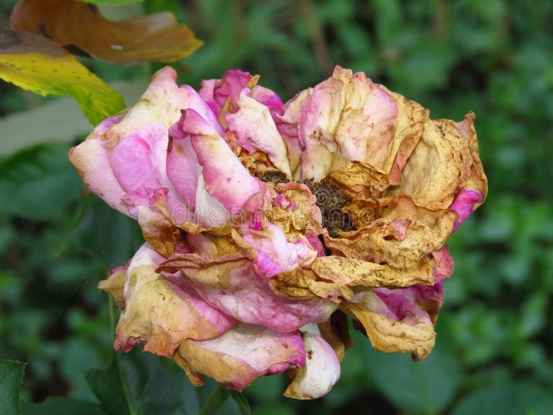 Disease caused by wet conditions. Problems with roses. Botrytis blight fungal rose disease. Disease caused by wet conditions. Problems with roses. Rose bloom royalty free stock photography