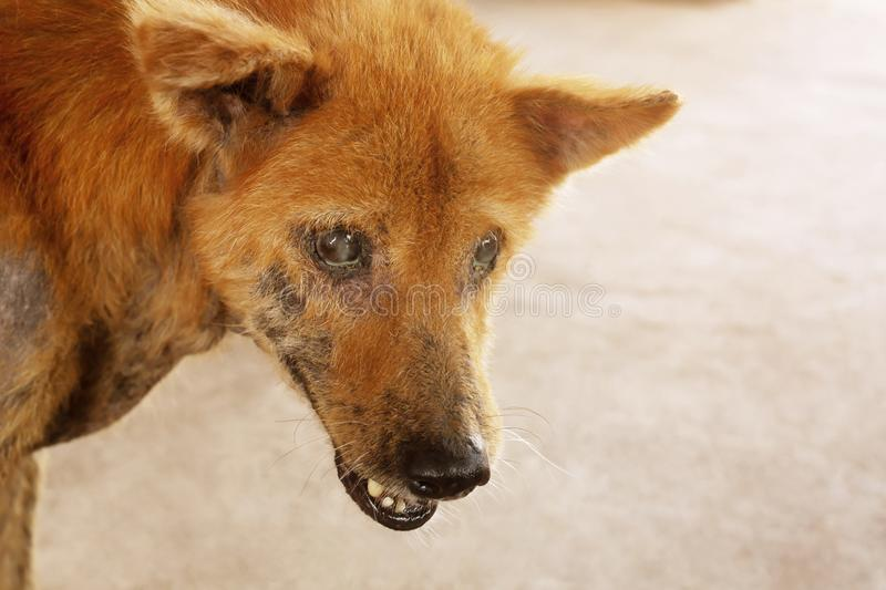 The disease on dirty stray dog get sick skin dermatitis contracted leprosy with hair loss problems and skin scab fungal pathogens. Of dermatology Dirty, ticks stock photos