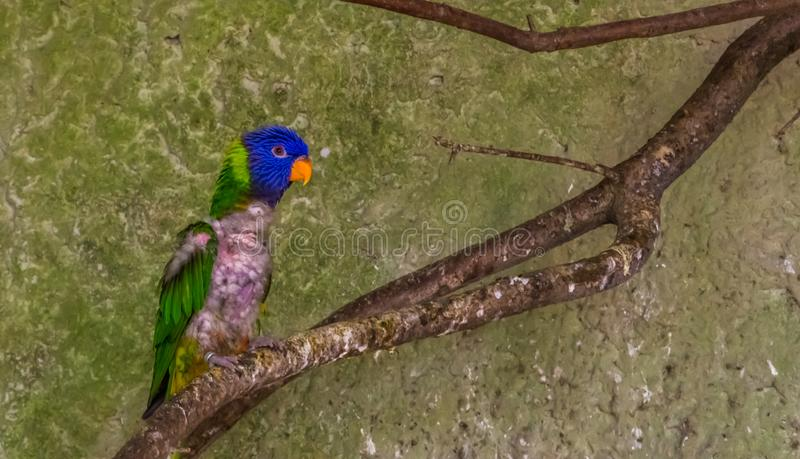 Diseased small parrot sitting on a branch in the aviary, bird with feather loss, bird with baldness. A diseased small parrot sitting on a branch in the aviary stock photos