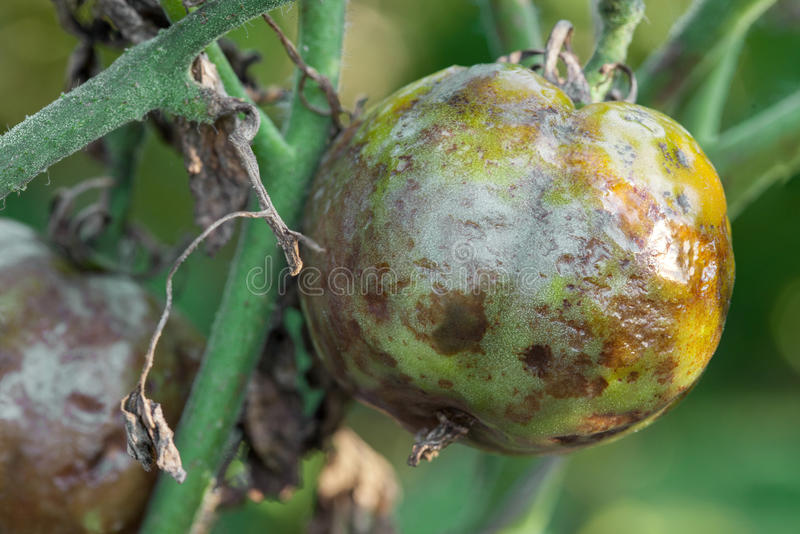 Diseased tomatoes. Tomatoes get sick by late blight closeup photo royalty free stock photography