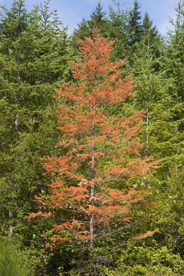 Download Diseased Tree In Forest stock image. Image of outdoors - 15464749