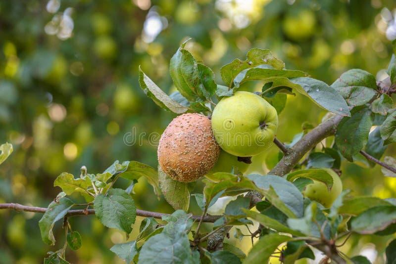 Diseases of apples, monilia. On the branch two apples, healthy and sick monilinia fruit rot monilia stock photos