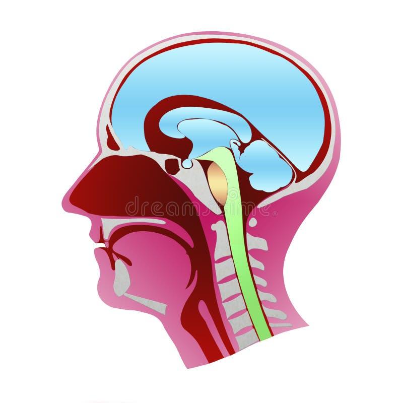 Disección del perfil de la cabeza humana con todos los elementos que lo componen stock de ilustración