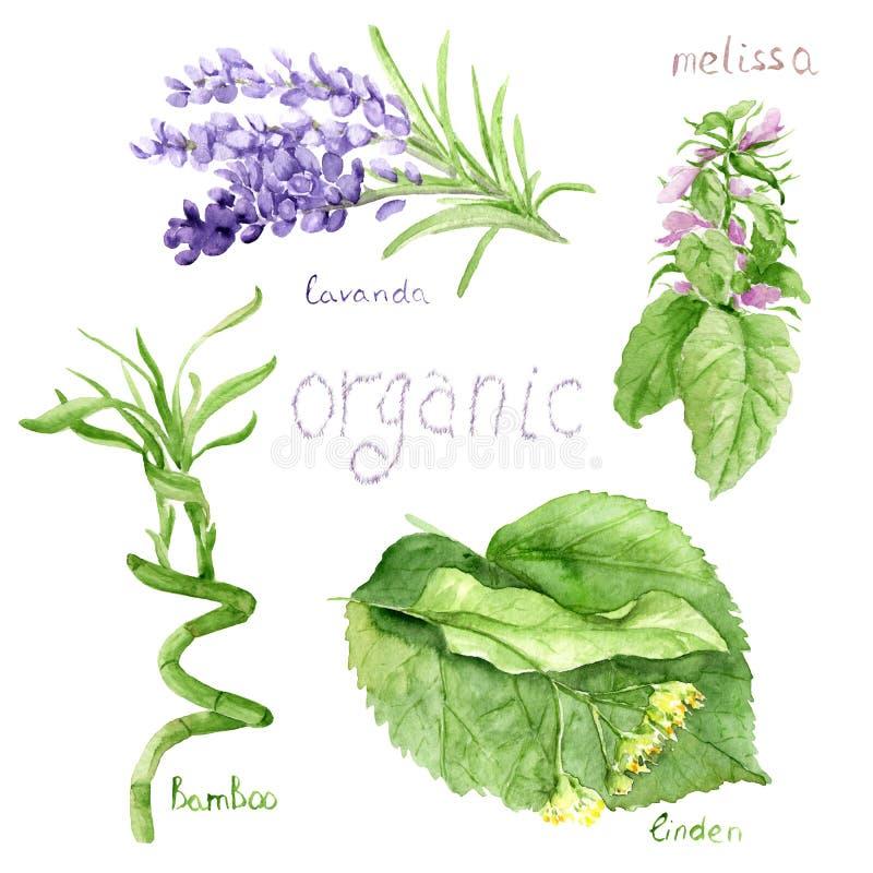 Disegni dell'acquerello dei cosmetici naturali: lavanda, bambù, melissa, tiglio illustrazione di stock