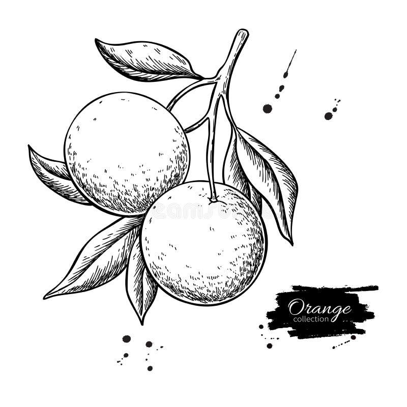 Disegno arancio di vettore del ramo Illustrazione incisa frutta di estate illustrazione vettoriale