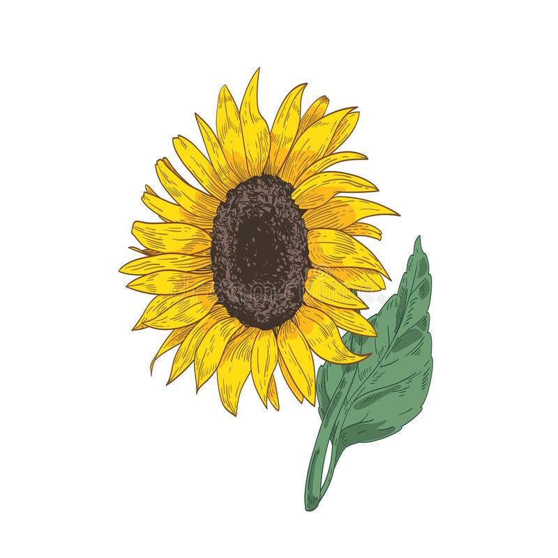 Disegno botanico dettagliato della testa, del gambo e della foglia del girasole Bello fiore o il raccolto coltivato disegnato a m illustrazione di stock