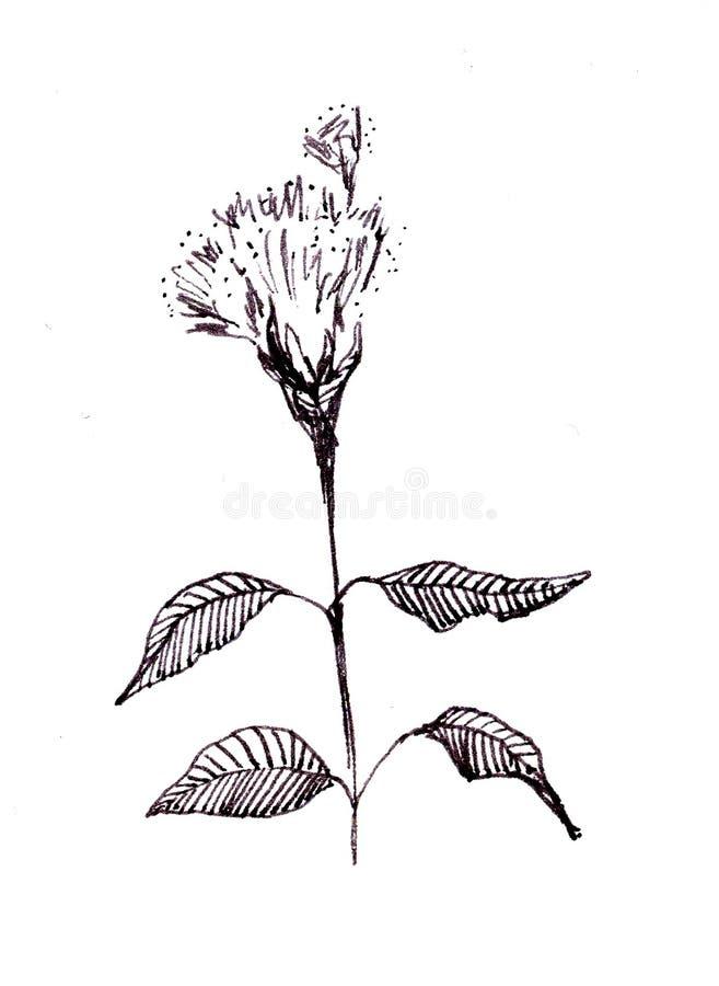 Disegno dell'inchiostro di china dell'erbaccia del campo di fioritura fotografie stock libere da diritti