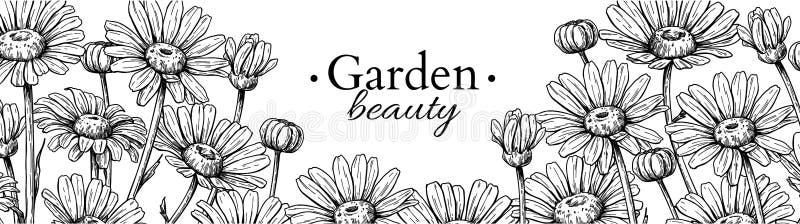 Disegno dell'insegna del fiore della margherita Confine floreale inciso disegnato a mano di vettore Camomilla illustrazione di stock