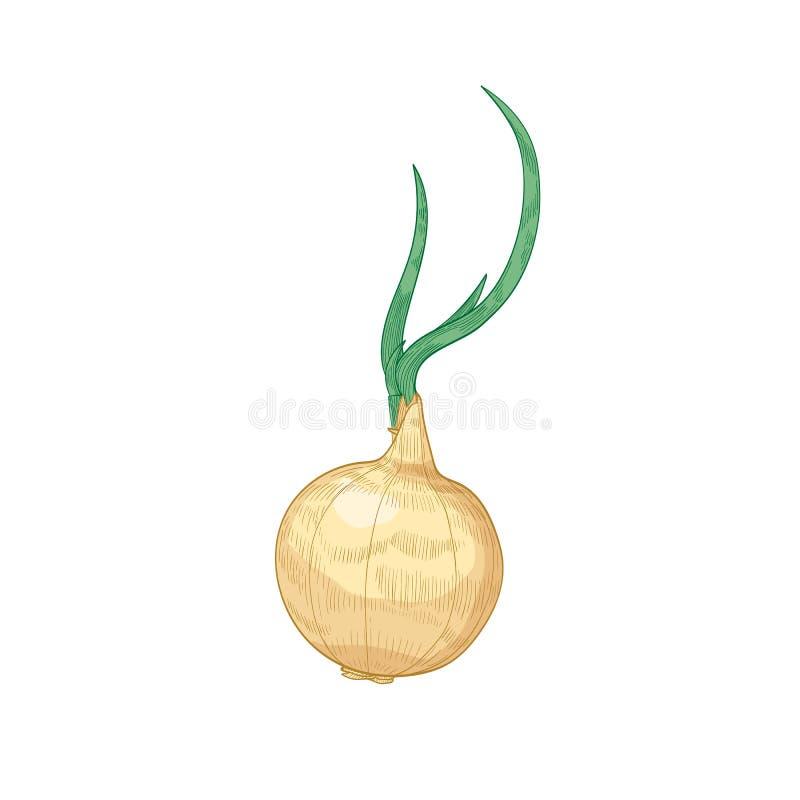 Disegno dettagliato elegante della lampadina della cipolla Verdura cruda matura organica fresca, il raccolto coltivato o mano veg illustrazione vettoriale