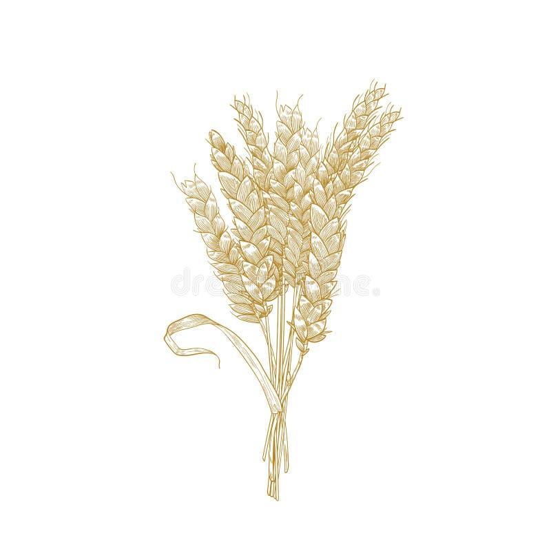 Disegno dettagliato naturale elegante del mazzo di orecchie del grano Pianta, grano o il raccolto coltivato del cereale isolati s illustrazione vettoriale