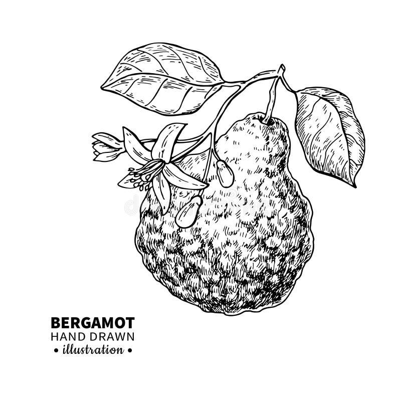 Disegno di vettore del bergamotto Illustrazione d'annata isolata degli agrumi con le fette Alimento biologico Olio essenziale illustrazione di stock