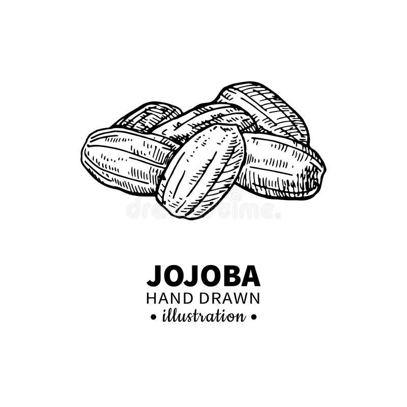 Disegno di vettore del jojoba Illustrazione d'annata isolata di frutta Schizzo inciso organico di stile dell'olio essenziale illustrazione vettoriale