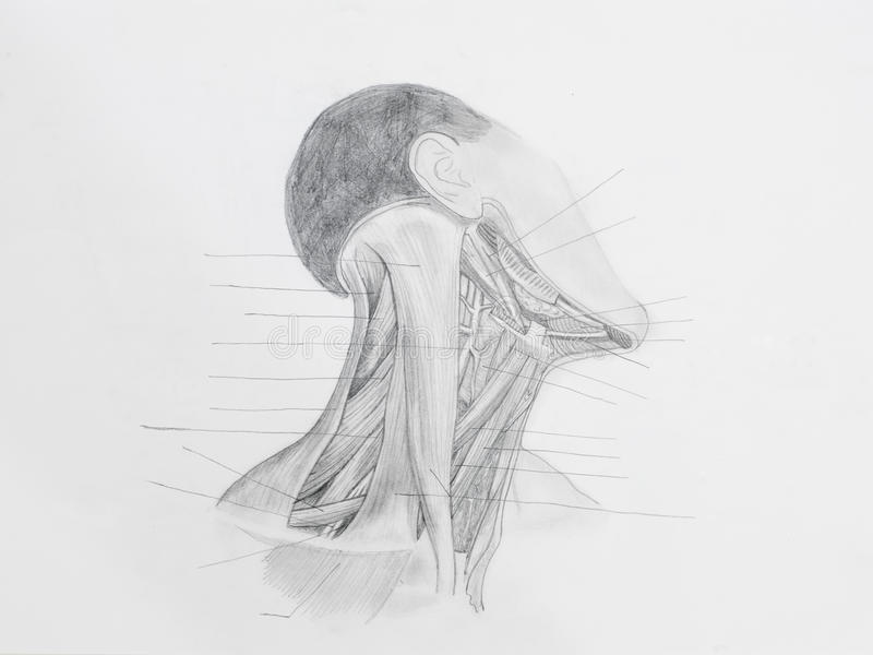 Disegno a matita anteriore dei muscoli del collo fotografie stock