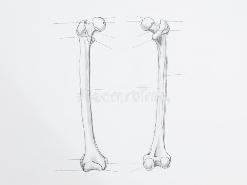 Disegno a matita dell'osso del femore immagine stock libera da diritti