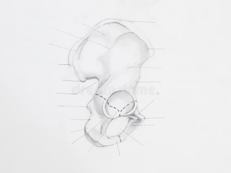 Disegno a matita dell'osso iliaco immagine stock