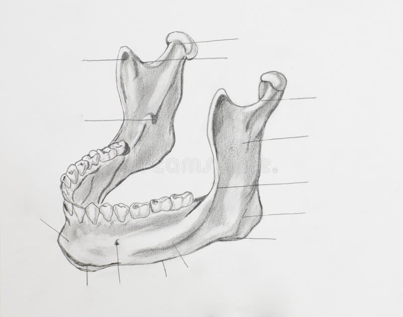 Disegno a matita della mandibola fotografie stock