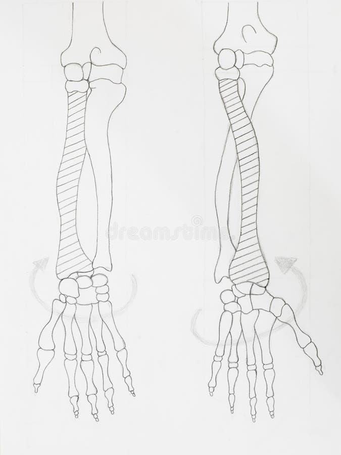Disegno a matita delle ossa di braccio fotografia stock libera da diritti