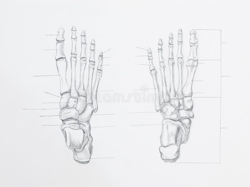 Disegno a matita delle ossa di piede fotografia stock libera da diritti