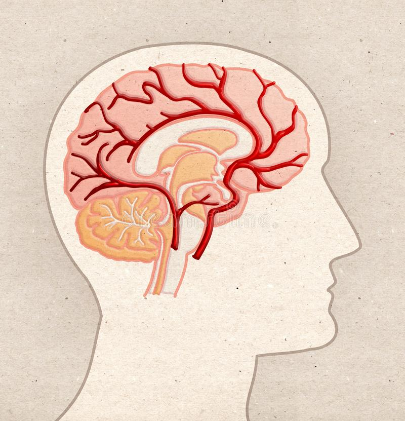 Disegno umano di anatomia - testa di profilo con BRAIN Arteries immagine stock libera da diritti