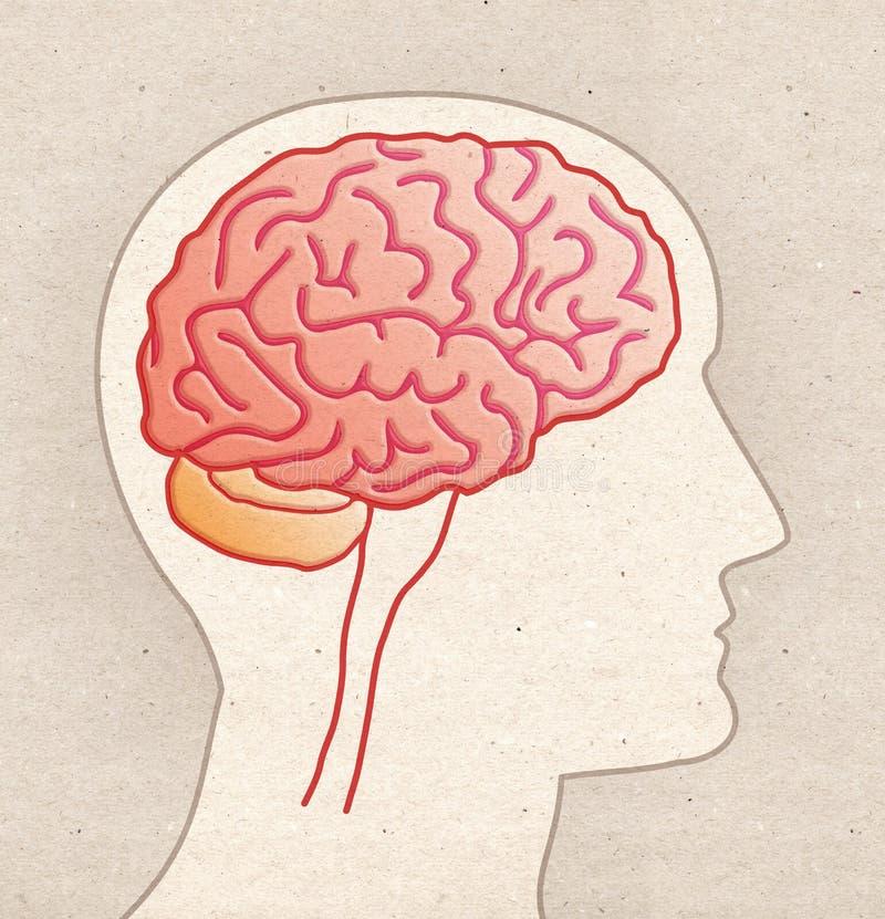 Disegno umano di anatomia - testa di profilo con la vista laterale del CERVELLO fotografie stock