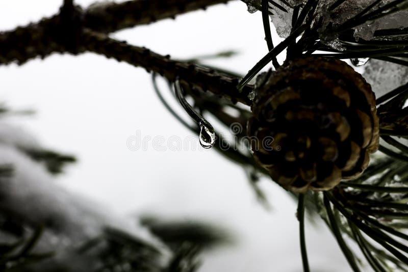 Disgelo della neve in un albero congelato fotografia stock