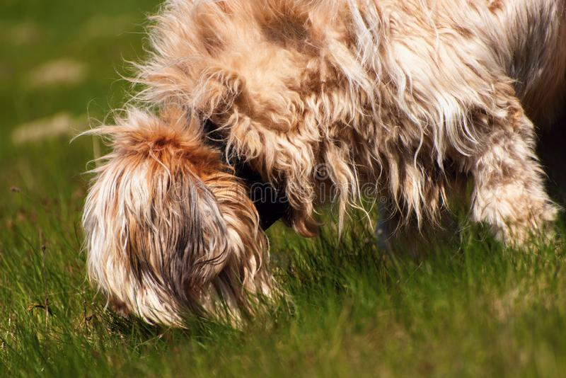 Disheveled dog briard sniffles in grass royalty free stock photography