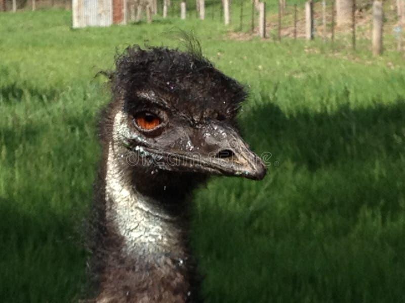 Disheveled emu Patrzeje kamerę zdjęcie royalty free