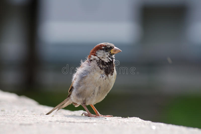 Disheveled house sparrow on the stone. Disheveled house sparrow standing on the stone stock image