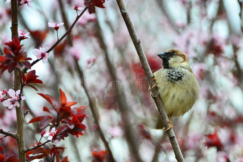 Disheveled little sparrow. Sitting on a plum branch royalty free stock image
