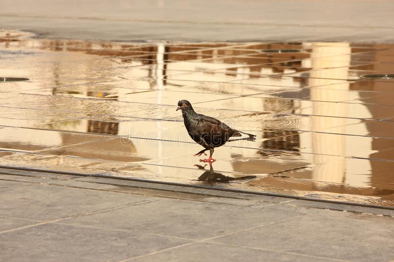 Disheveled pigeon walk on city square and reflect in puddle stock photo