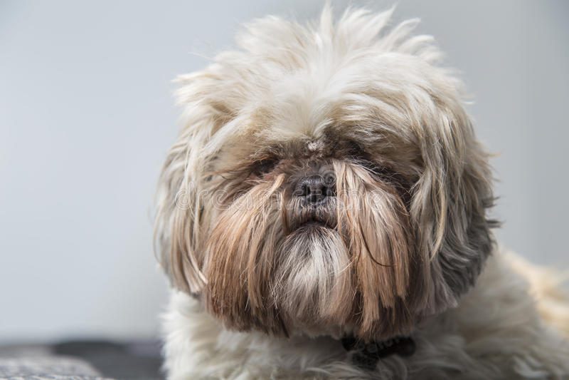 Disheveled Shi Tzu dog serious on a grey background stock image