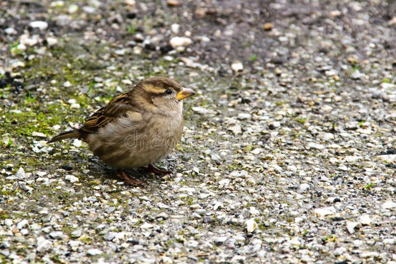 Disheveled sparrow thinks. The disheveled sparrow is thinks royalty free stock images