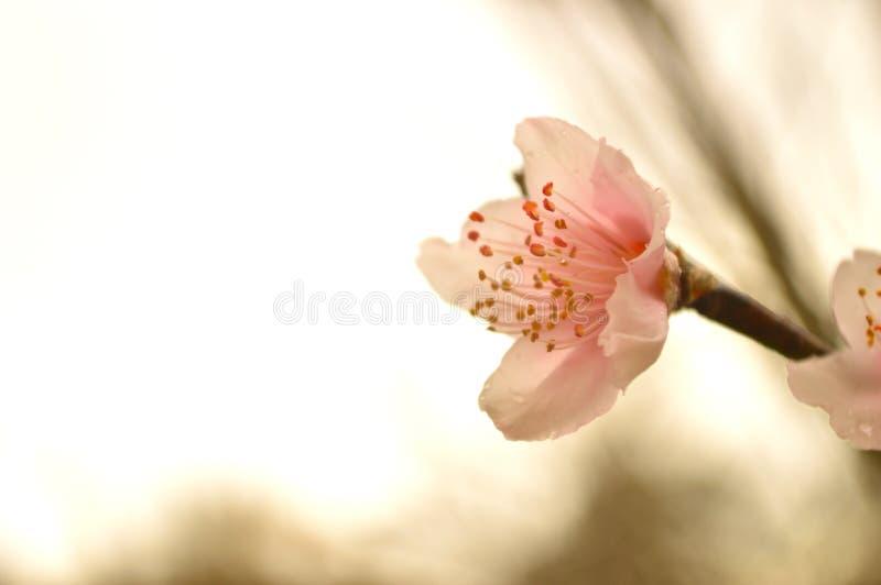 Disig bakgrund av persikablomningen royaltyfri bild