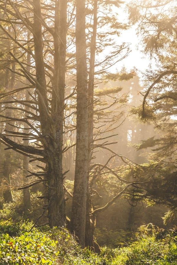 Disigt solljus i kust- skog fotografering för bildbyråer
