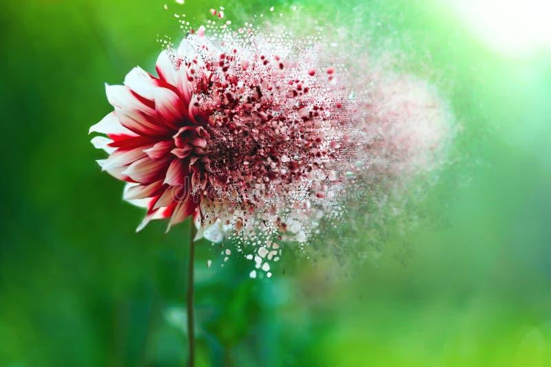 Disintegrating flower on green background stock photo
