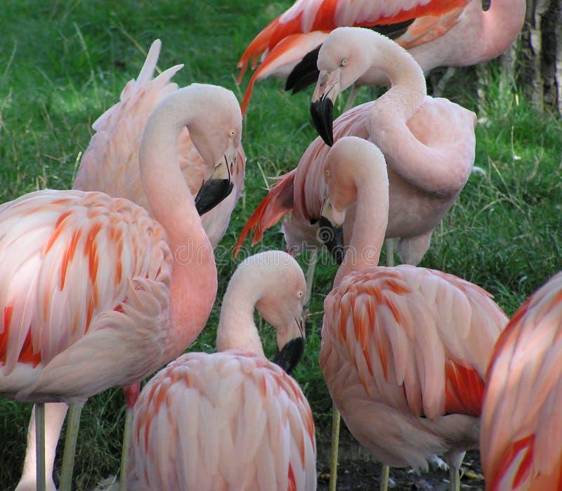 Download Diskussionsflamingosgrupp arkivfoto. Bild av fjädrar, wild - 289026