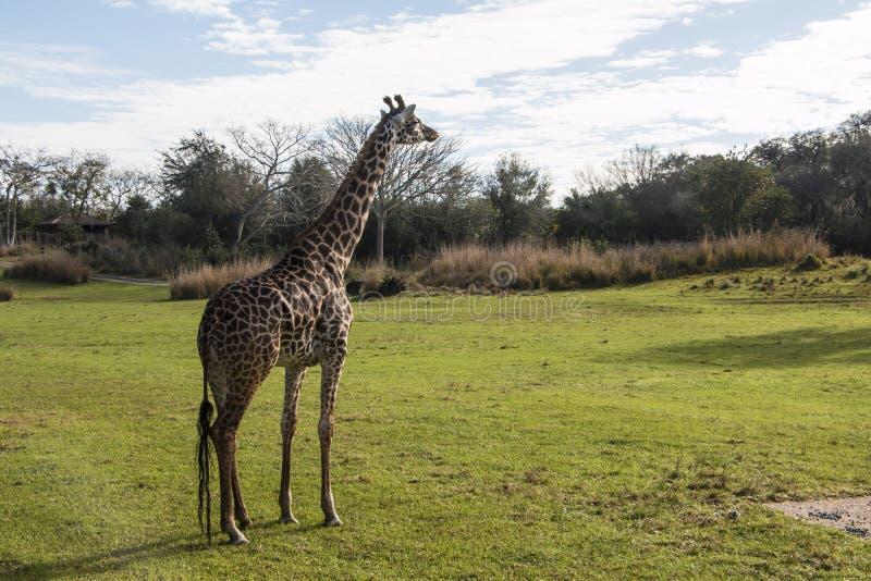 Disney's Animal Kingdom. Giraffe - Kilimanjaro Safaris - Orlando/FL - USA royalty free stock photo
