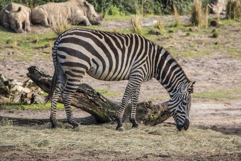 Disney's Animal Kingdom. Zebra - Kilimanjaro Safaris - Orlando/FL - USA stock images