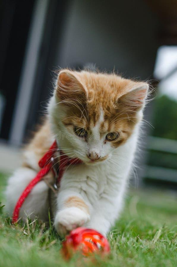 Disparado do jogo bonito pequeno do gatinho do branco-gengibre imagens de stock
