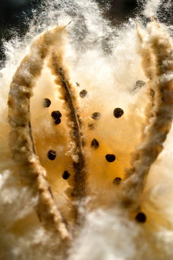 Dispersión de la semilla del árbol del algodón de seda de Kapok imagenes de archivo