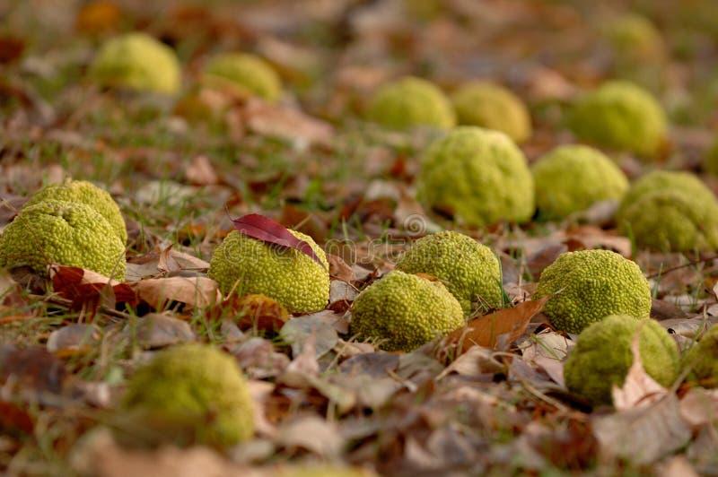 Dispersión de las naranjas de Osage a través de una cama de hojas caidas imagen de archivo libre de regalías