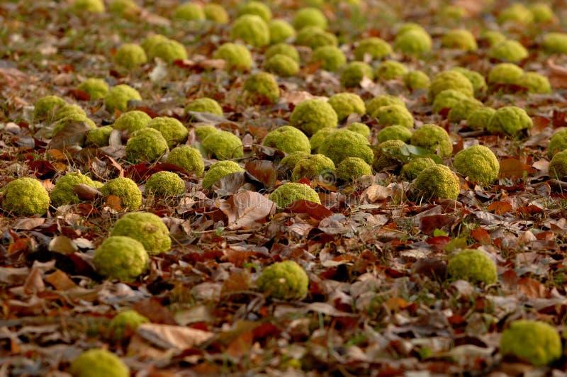 Dispersión de las naranjas de Osage a través de una cama de hojas caidas fotos de archivo