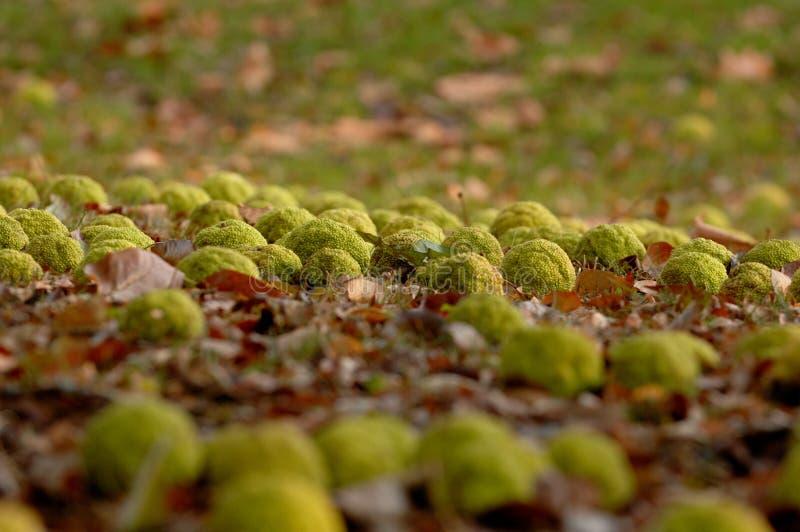 Dispersión de las naranjas de Osage a través de una cama de hojas caidas fotografía de archivo libre de regalías