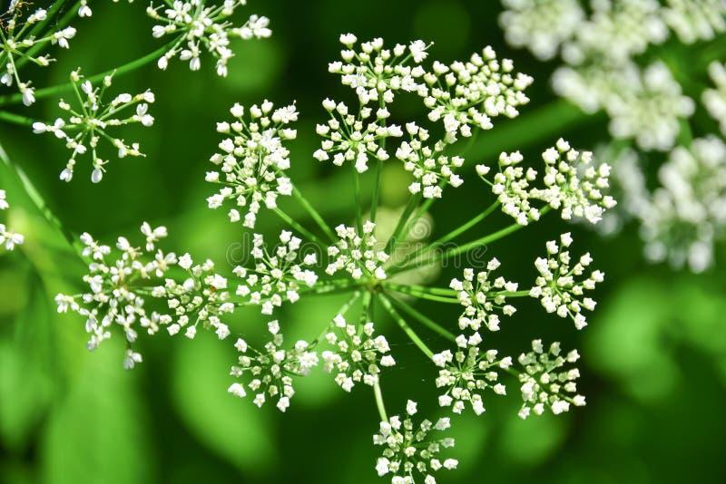 Dispersión de pequeñas flores blancas En el fondo de la hierba verde en el bosque del verano, foto macra Fondo estacional de la n fotos de archivo