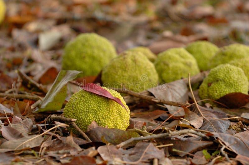 Dispersione delle arance di Osage attraverso un letto delle foglie cadute fotografie stock libere da diritti