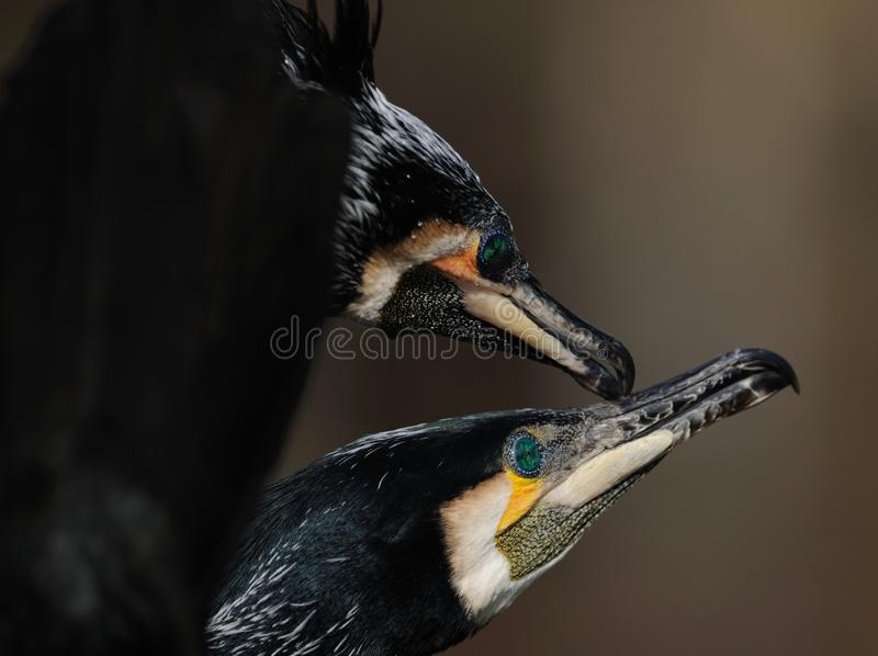 Display of Great Cormorant stock image