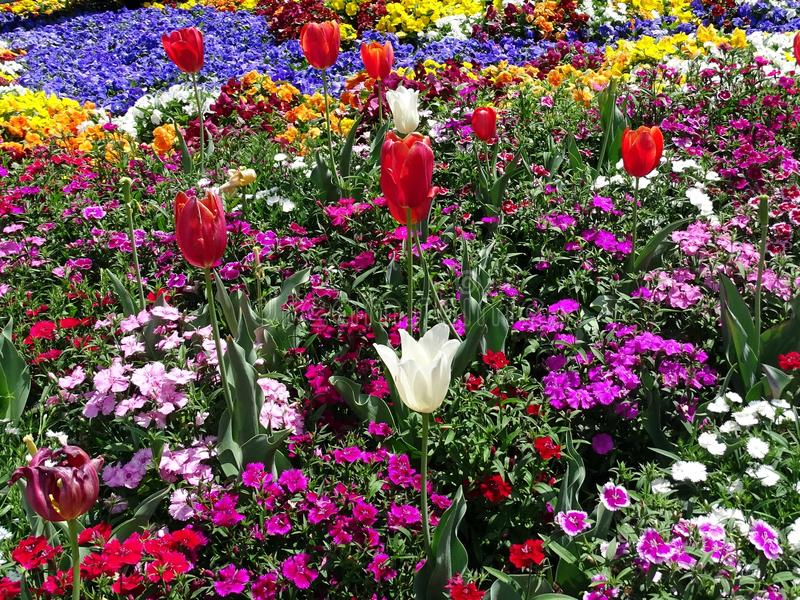 A display of tulips and a variety of flowers in a garden stock photography