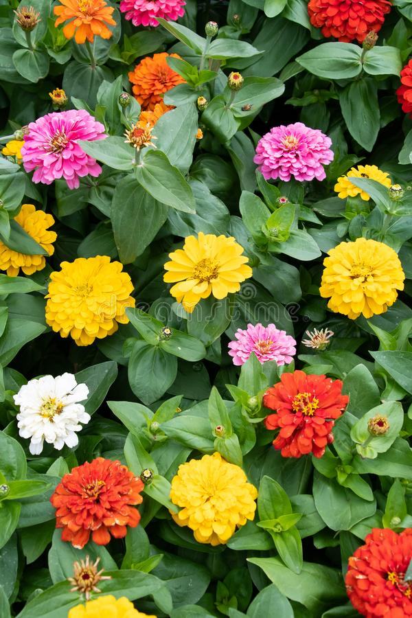 A display of Zinnia flowers royalty free stock photo