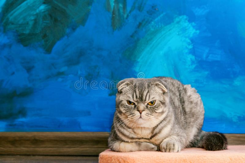 Displeased Scottish fold cat on the background of a colored blue wall. Gray scottish fold cat close-up. Displeased. Expression of the muzzle. Copy space stock photography